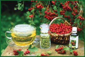 Лекарственные растения. Боярышник