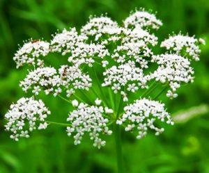 Лекарственные растения. Анис обыкновенный