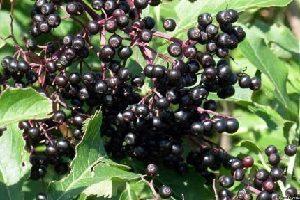 Лекарственные растения. Бузина черная