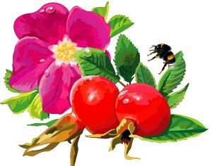 Лекарственные растения. Шиповник