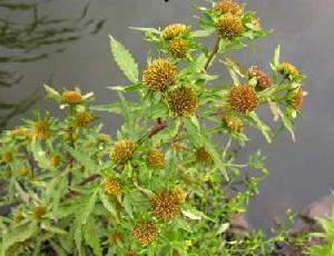 Лекарственные растения. Череда трёхраздельная