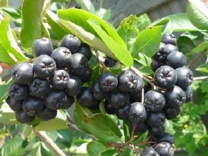 Лекарственные растения. Рябина черноплодная