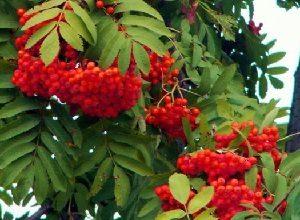 Лекарственные растения. Рябина красная