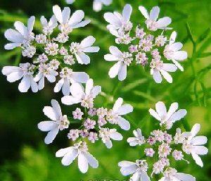 Лекарственные растения. Кориандр посевной